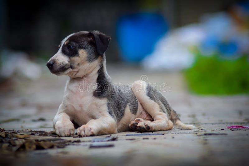 Puppy imagens de stock