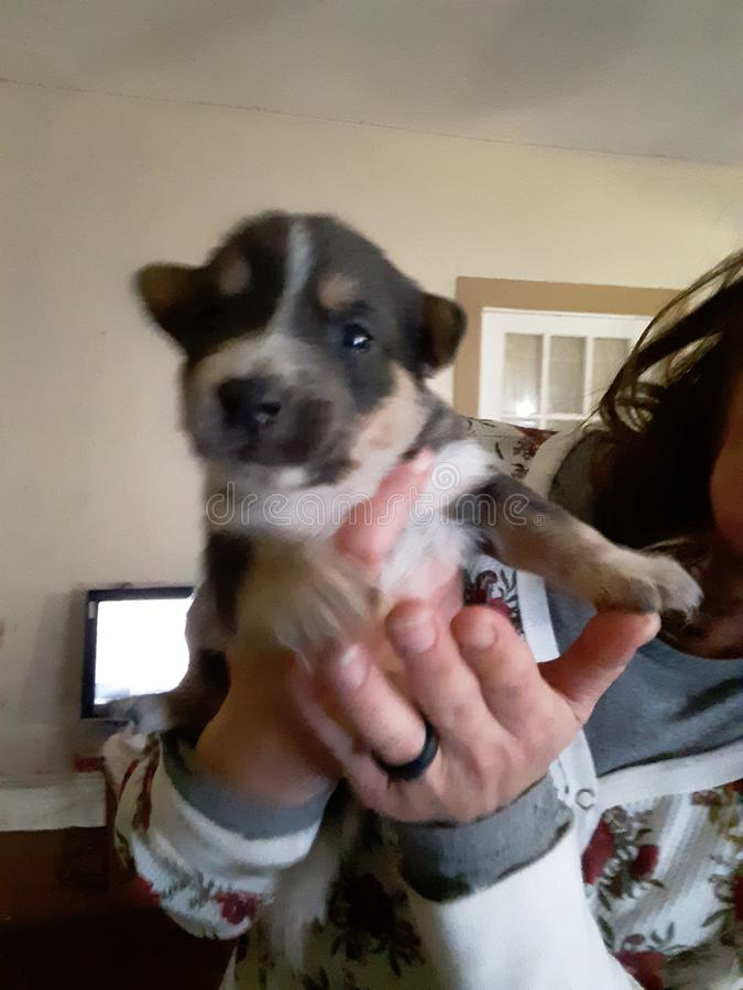 Puppy fotografia de stock royalty free