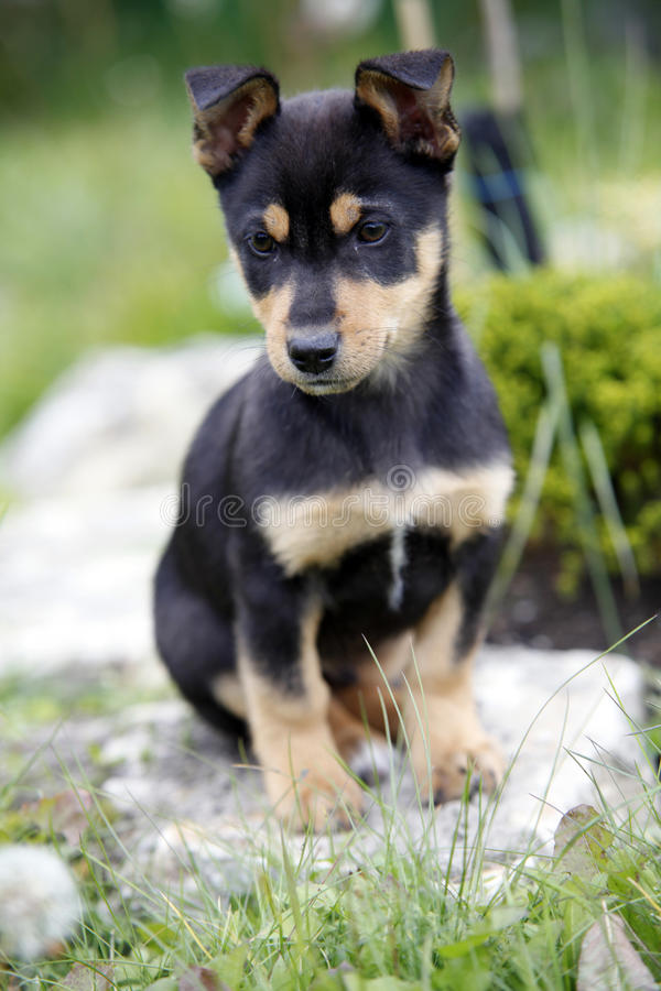 Free Puppy Royalty Free Stock Images - 17175099