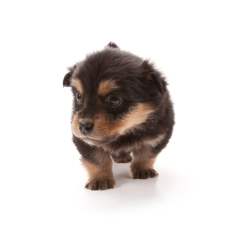 Puppy. Adorable puppy isolated on white stock photos