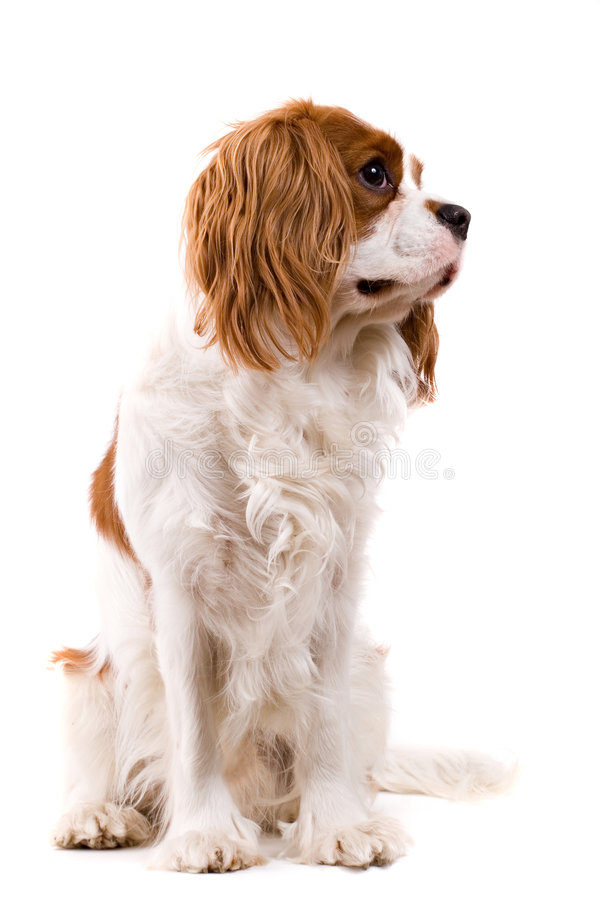 Puppy. Cavalier puppy in my studio royalty free stock photography