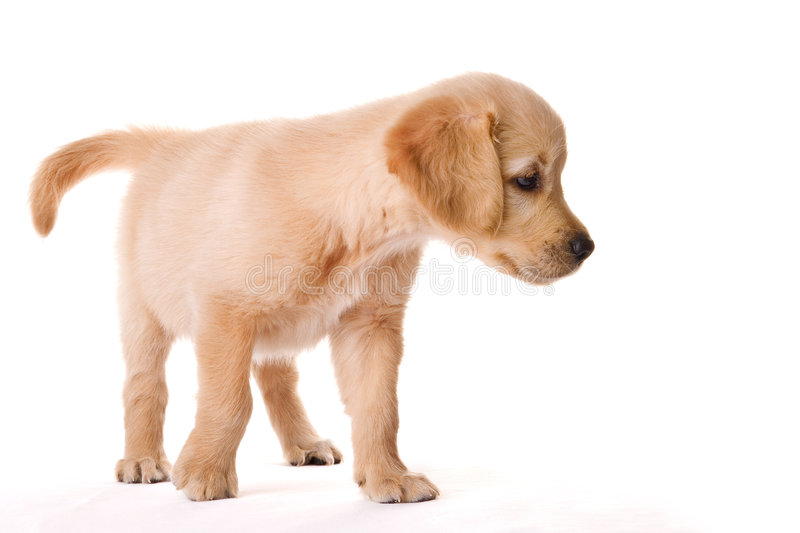 Puppy. A golden retriever puppy in my studio stock photography