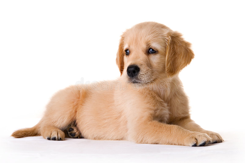 Puppy. Golden retriever puppy in my studio royalty free stock images