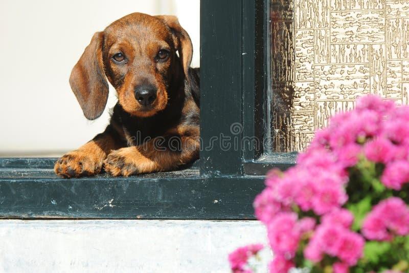 Puppy royalty-vrije stock foto's