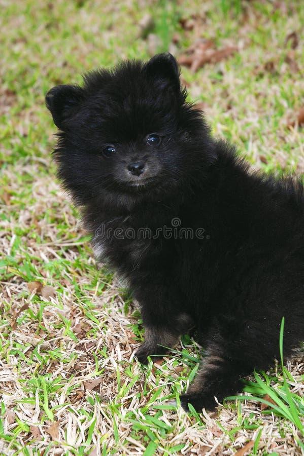 Puppy 3 van Pomeranian royalty-vrije stock foto's