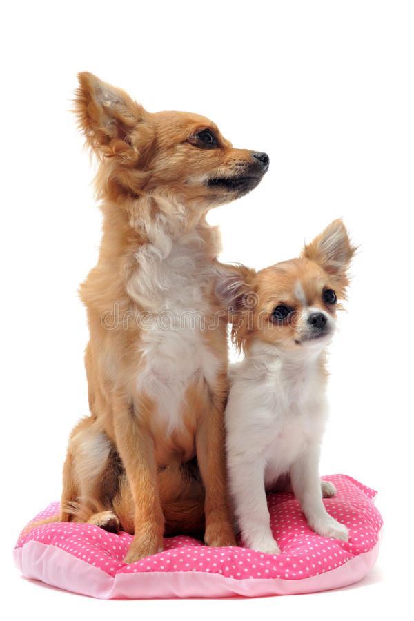 Download Puppy And Adult Chihuahua Stock Image - Image: 19806391