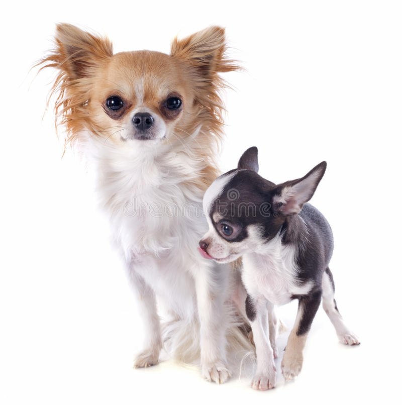 Download Puppy and adult chihuahua stock photo. Image of companion - 29078030