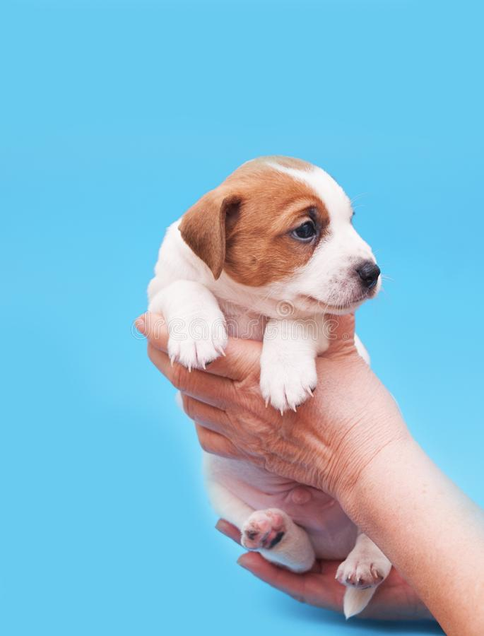 Puppy in adult female hands. stock photos