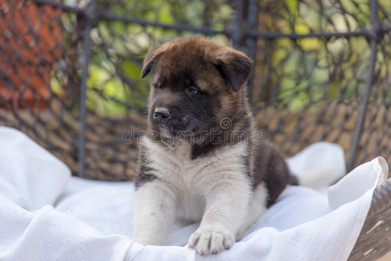 Puppy akita está na cadeira do pátio fotos de stock
