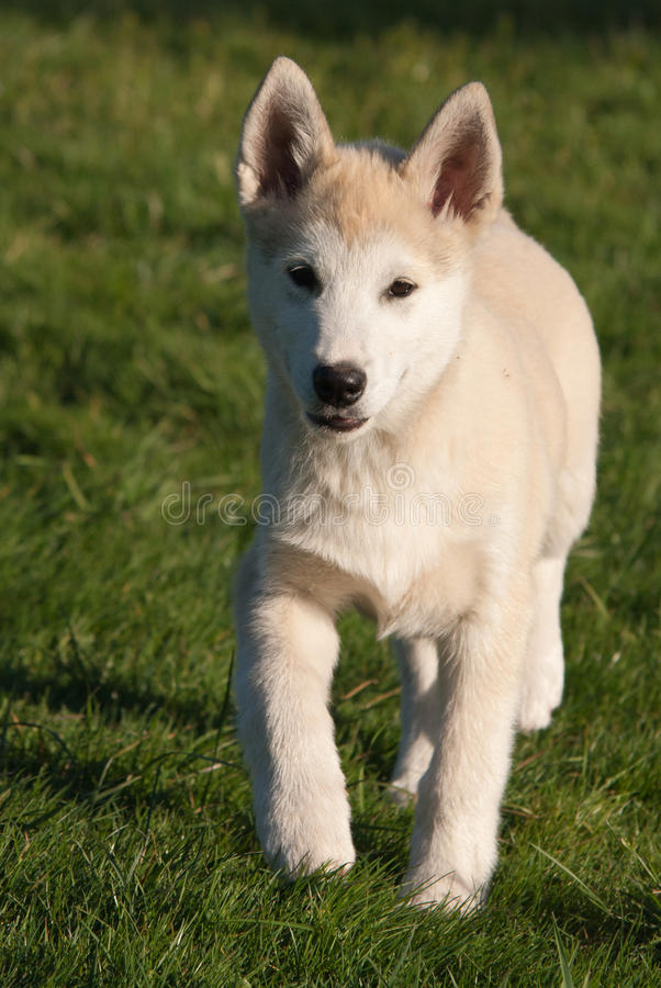Download Puppy Of Alaskan Husky Royalty Free Stock Images - Image: 26068099