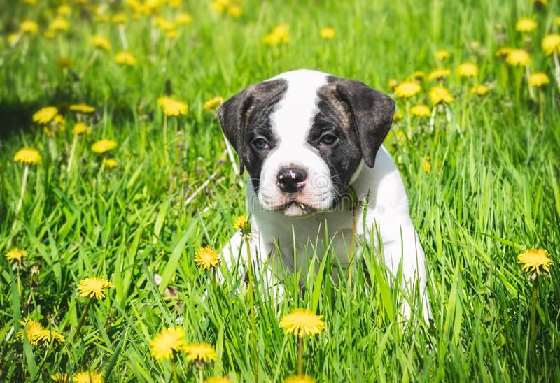 Puppy american bulldog for a walk in the park royalty free stock photos