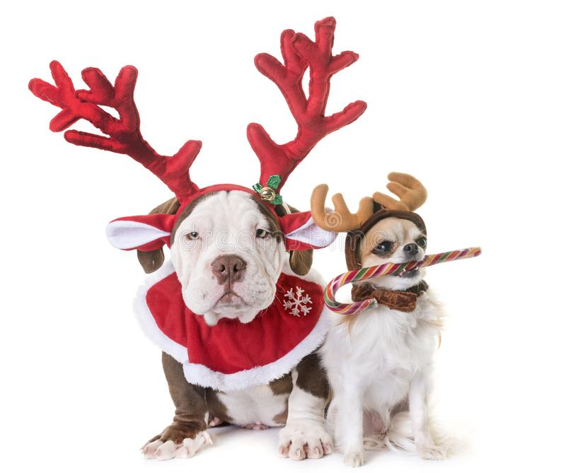 Puppy american bully, chihuahua and christmas stock image