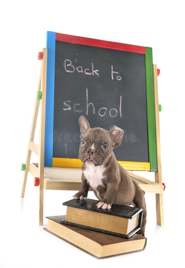 Puppy american bully at school stock photography