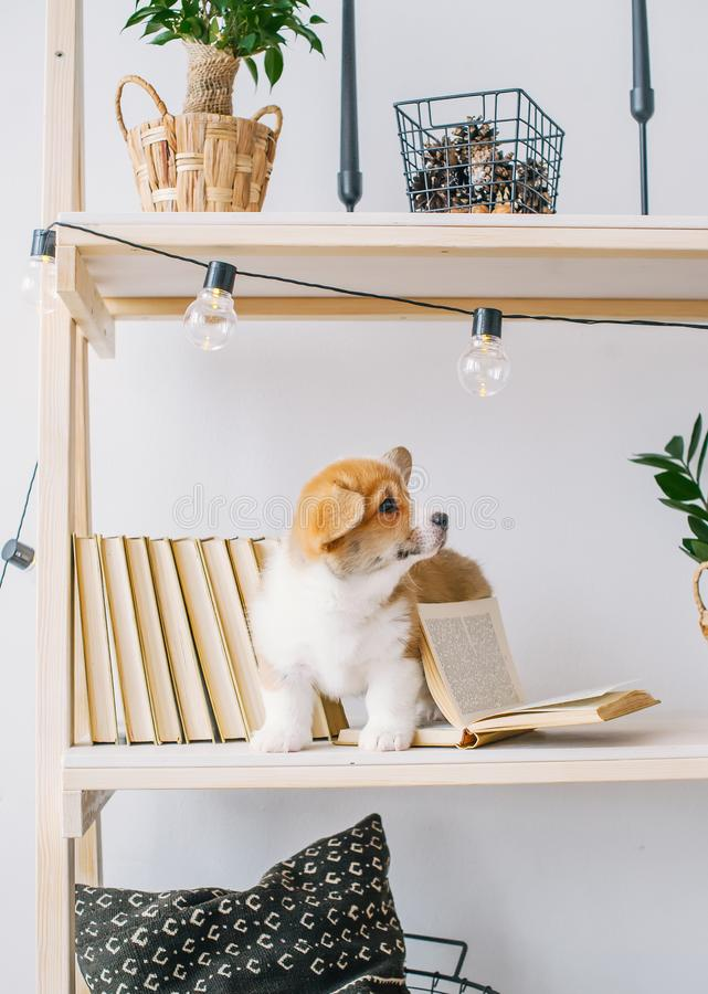 Puppy with amusing ears play on bookshelf royalty free stock image