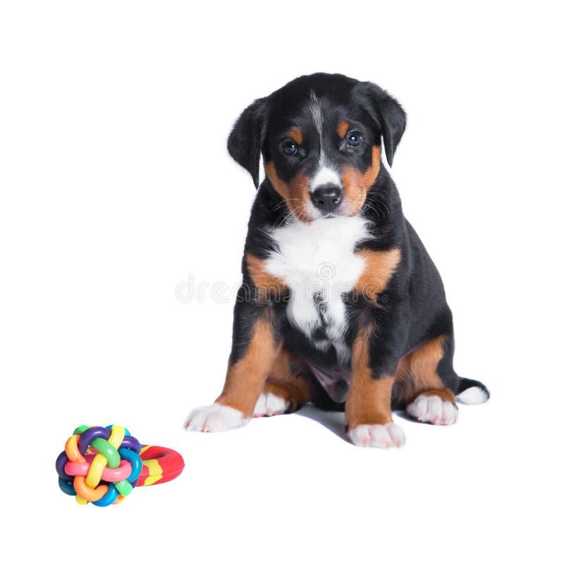 Download Puppy Appenzeller Sennenhund, 7 Weeks, Isolated Stock Photo - Image: 26283352