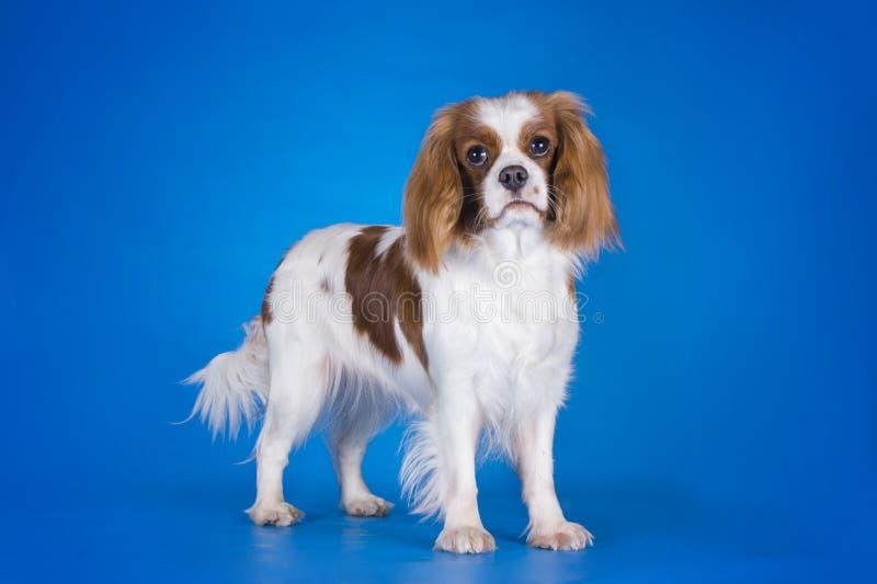Puppy Arrogante die Koning Charles Spaniel op een blauwe backgroun wordt geïsoleerd stock fotografie