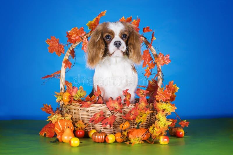 Puppy Arrogante Koning Charles Spaniel in de herfstmand op blauwe ISO stock fotografie