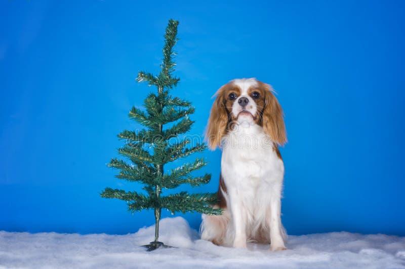 Puppy Arrogante Koning Charles Spaniel in een Kerstboom royalty-vrije stock afbeelding