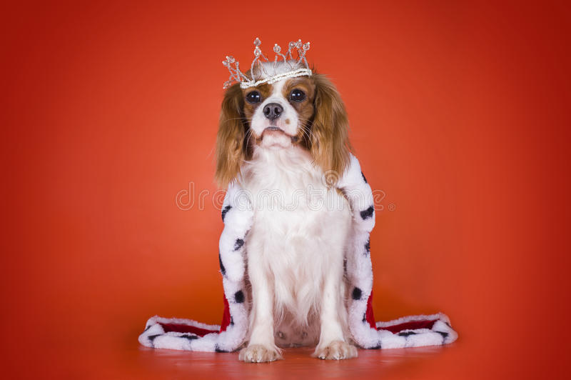 Puppy Arrogante Koning Charles Spaniel in een kostuum van de Koningin of royalty-vrije stock afbeelding