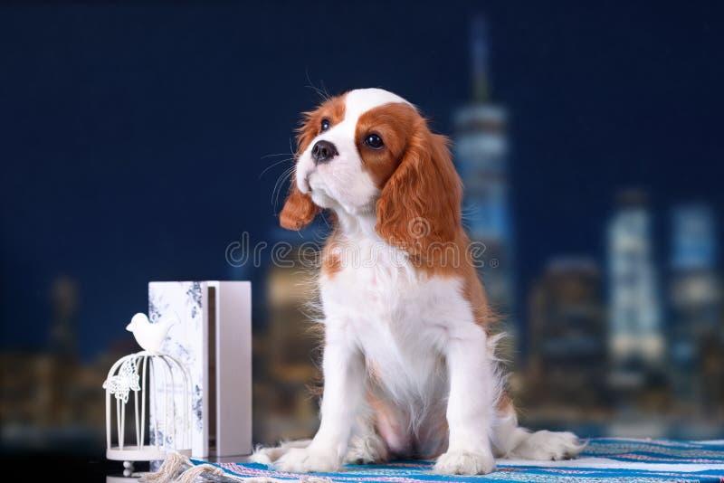 Puppy Arrogante koning Charles Spaniel op de achtergrond van de nachtstad royalty-vrije stock foto's