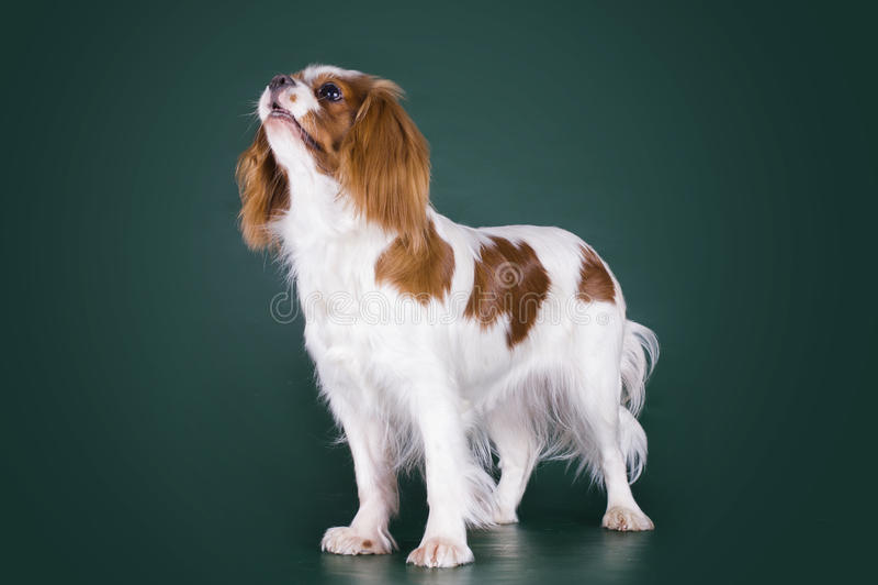 Puppy Arrogante Koning Charles Spaniel op een groene geïsoleerde backgrou stock fotografie