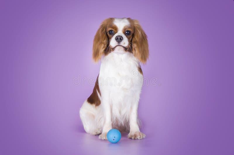 Puppy Arrogante Koning Charles Spaniel op een purpere isola als achtergrond stock foto