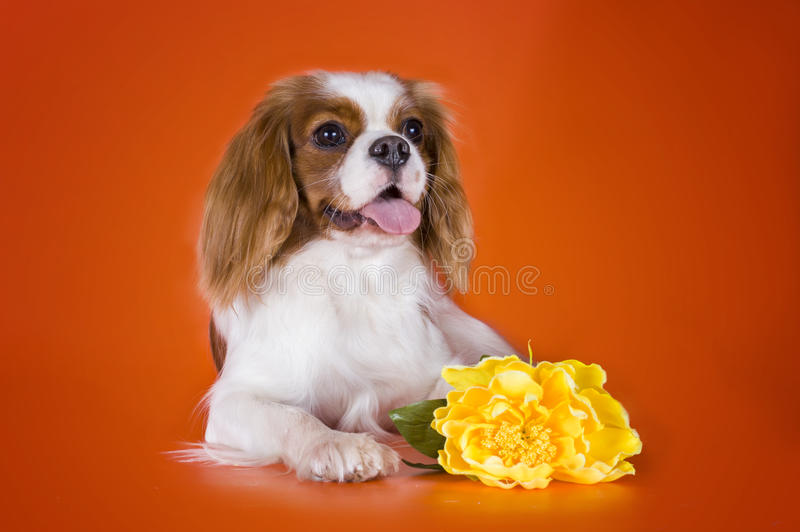 Puppy Arrogante Koning geïsoleerd Charles Spaniel op sinaasappel backgroun royalty-vrije stock afbeelding