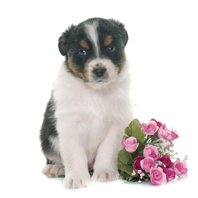 Puppy australian shepherd royalty free stock images