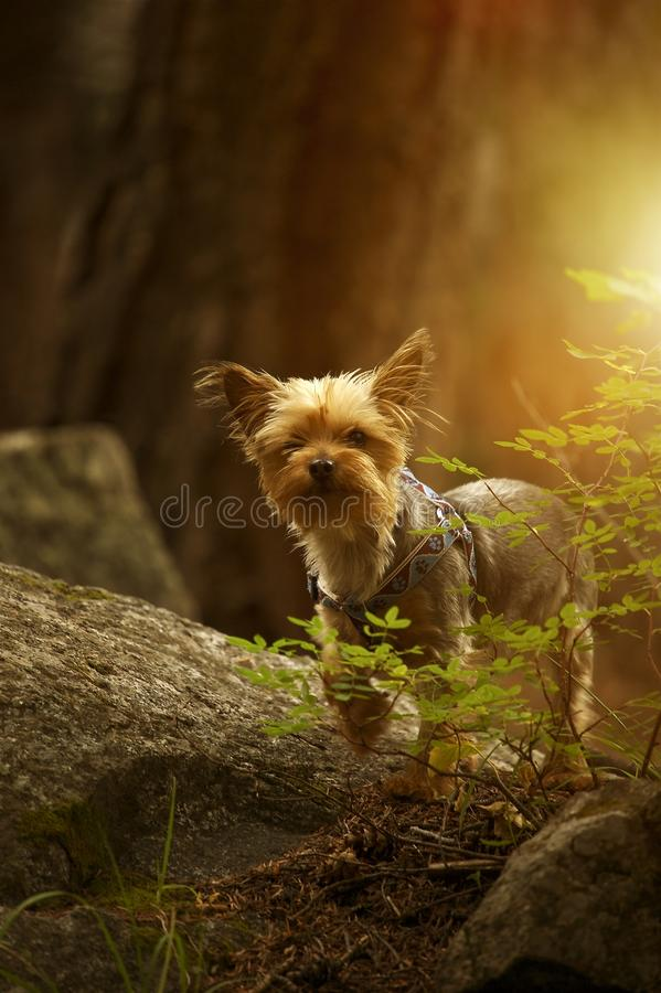 Puppy Australian Silky Terrier royalty free stock image