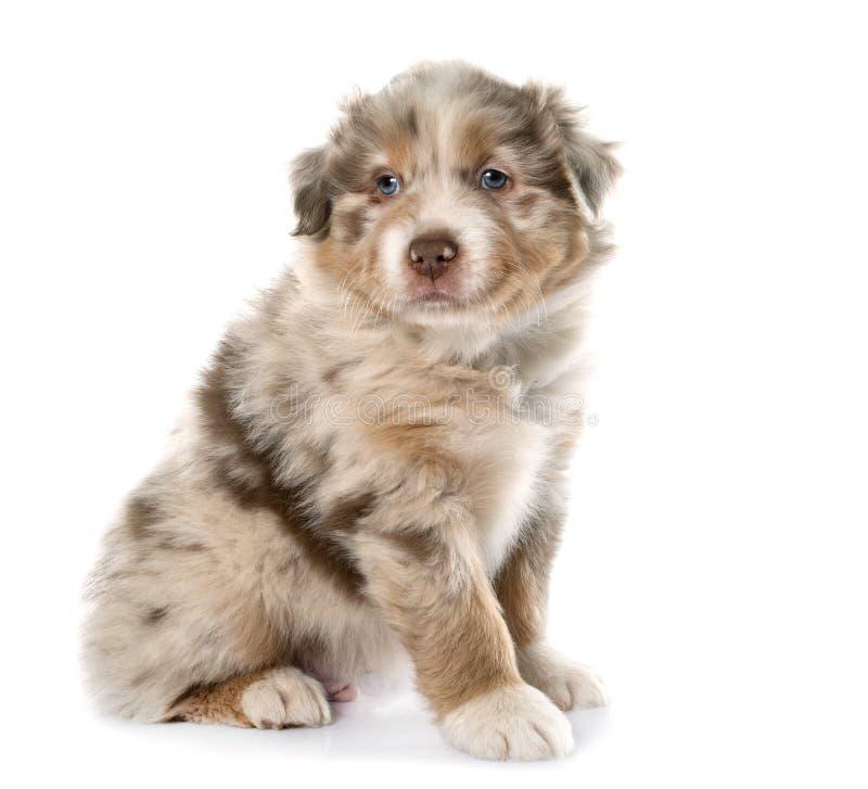 Puppy Australische herder stock foto's