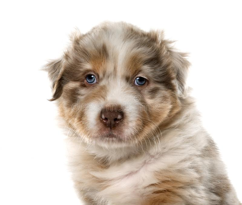 Puppy Australische herder royalty-vrije stock foto