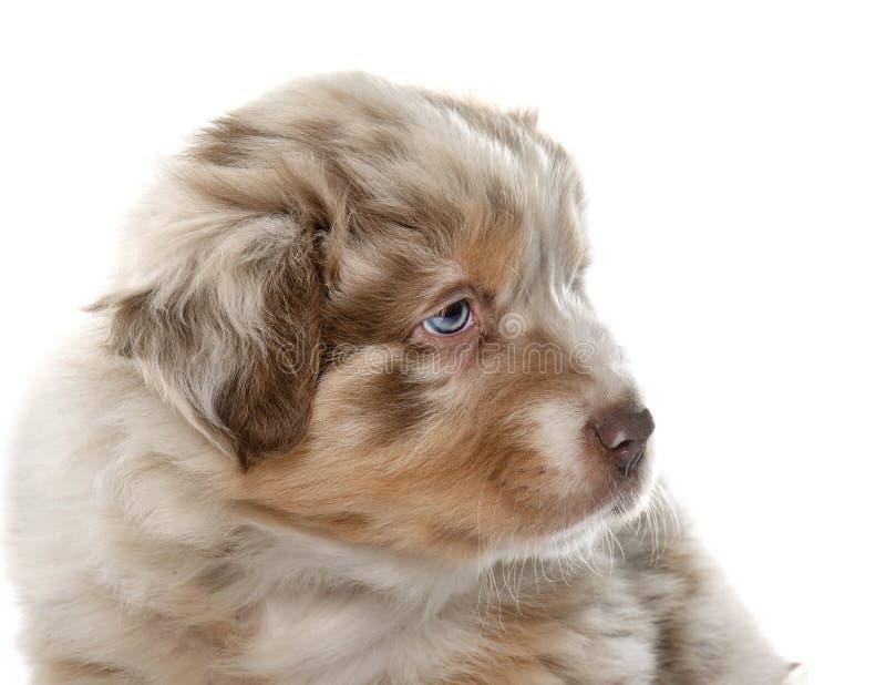 Puppy Australische herder stock afbeelding
