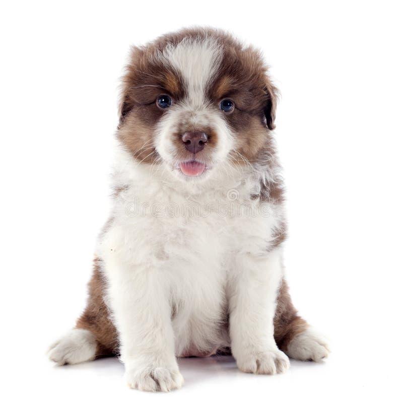 Puppy Australische herder stock fotografie