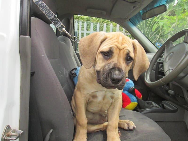 Puppy in auto stock foto