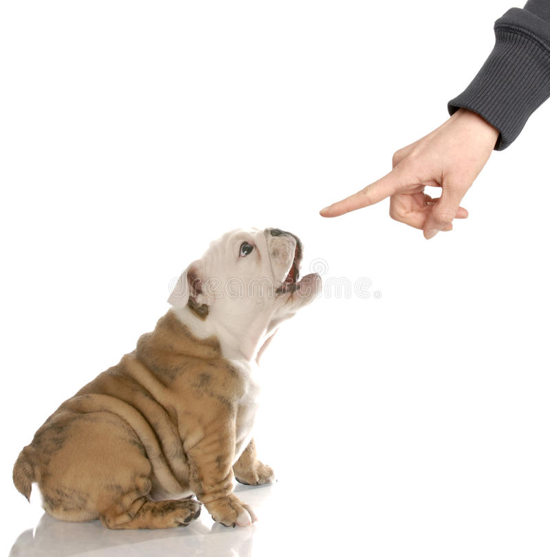 Puppy with bad attitude stock image
