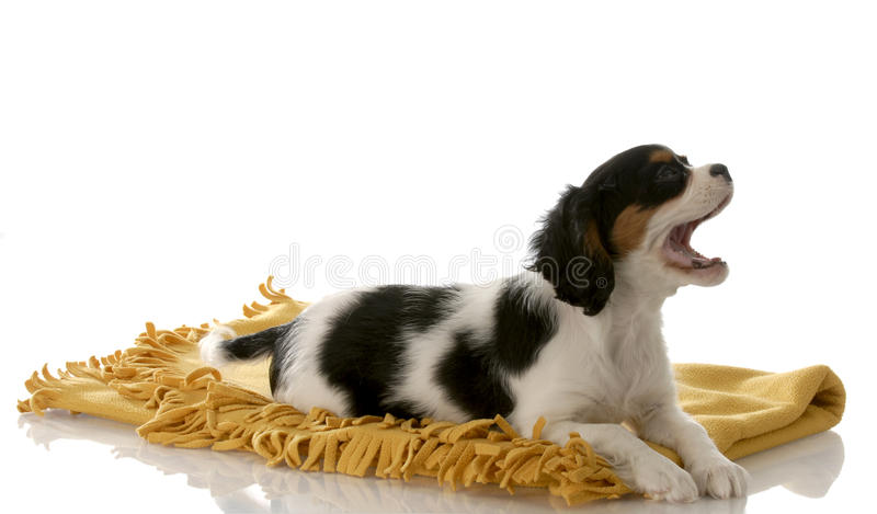 Puppy barking laying on blanket royalty free stock photo
