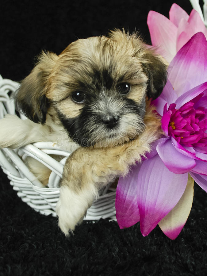 Puppy in Basket royalty free stock photo