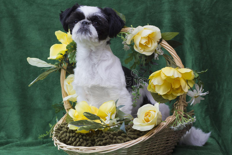 Download Puppy in basket stock photo. Image of cute, basket, wicker - 26286706