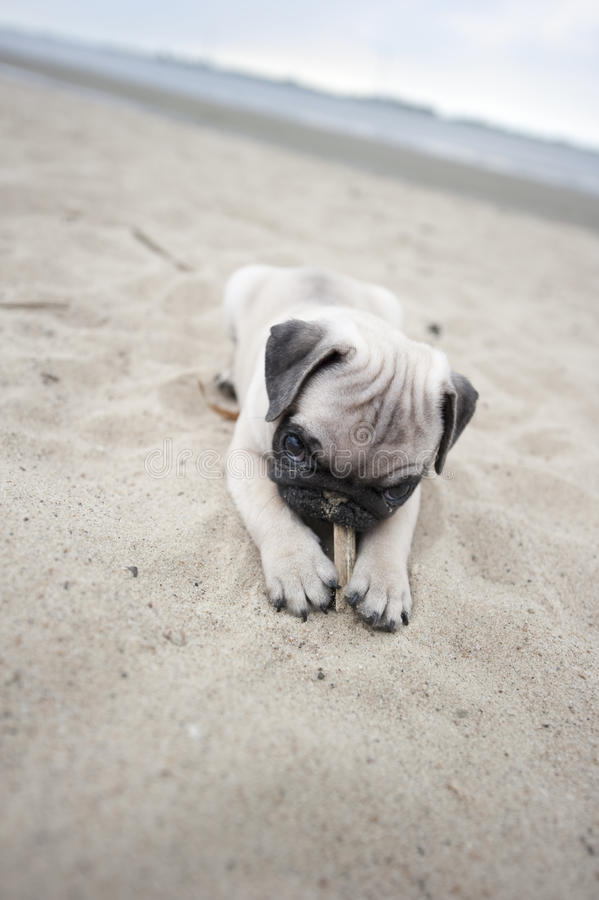 Puppy on Beach royalty free stock images