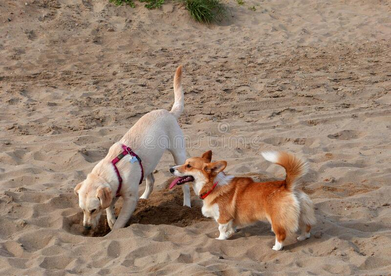 Puppy beach party! royalty free stock images
