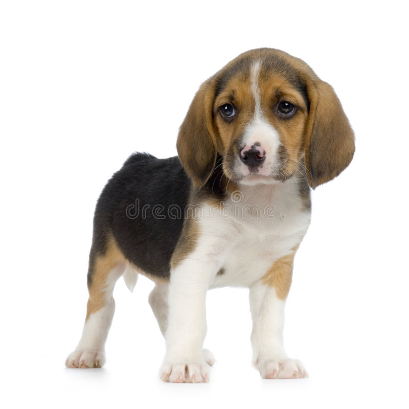 Puppy Beagle Royalty Free Stock Photography