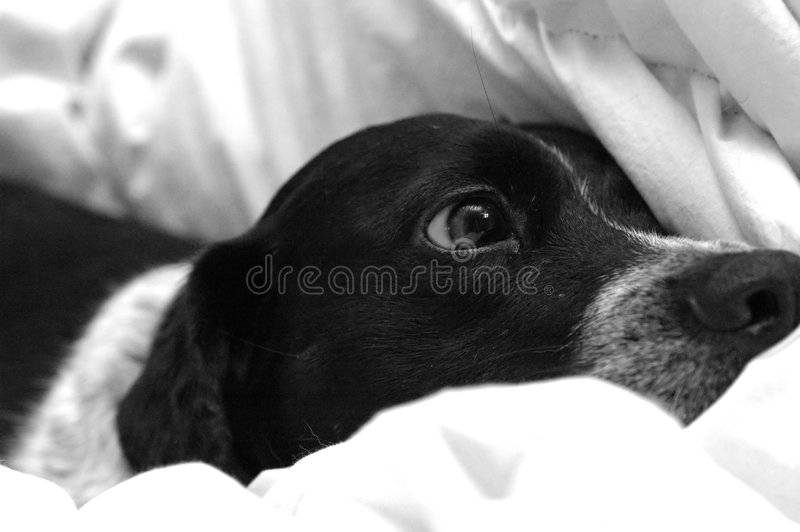 Puppy in bed. A black and white puppy (blue tick/pointer) resting in a down bed comforter in black and white stock photo