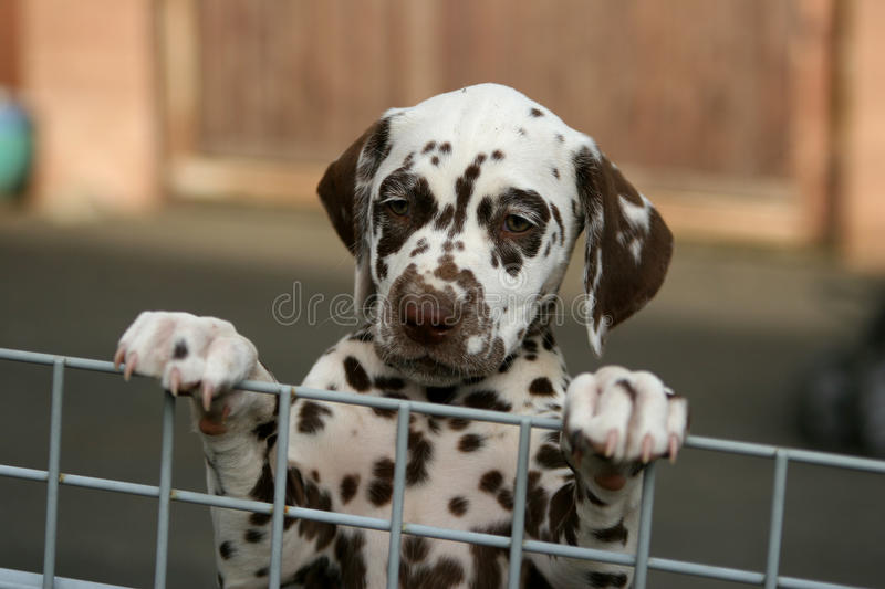 Download Puppy behind a fence stock image. Image of cute, dalmatian - 19760613