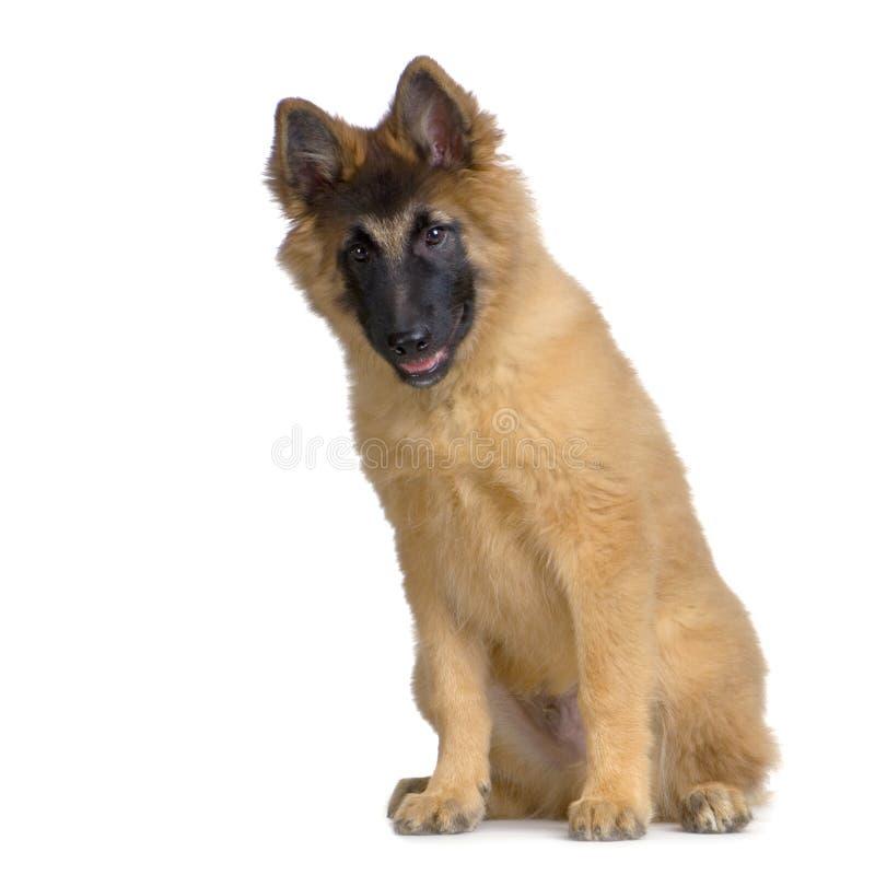 Download Puppy Belgian Tervuren stock photo. Image of puppy, cute - 2314104