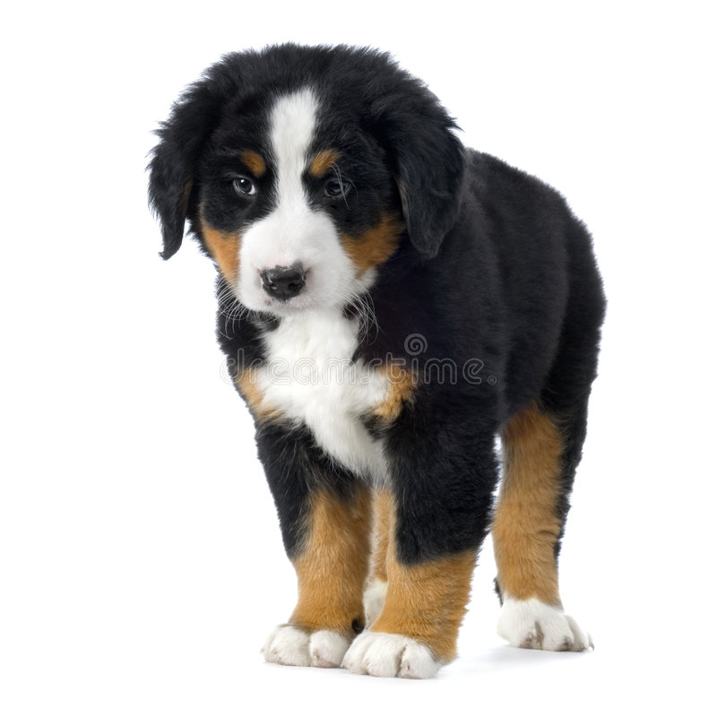 Puppy Bernese mountain dog stock image. Image of canine
