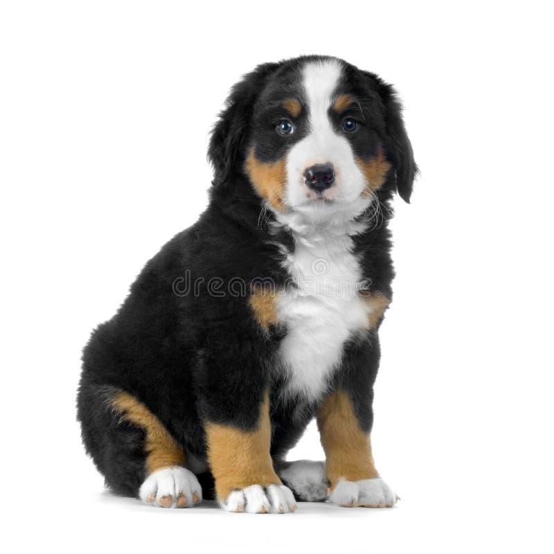 Download Puppy Bernese mountain dog stock photo. Image of animal - 2321744