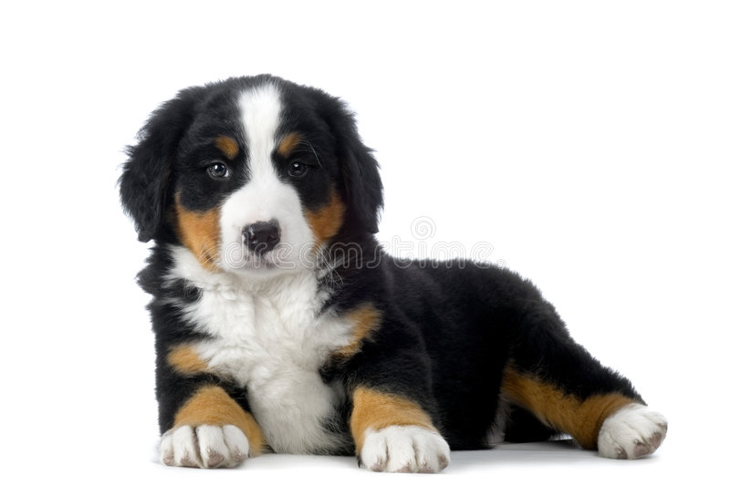 Puppy Bernese mountain dog royalty free stock photos