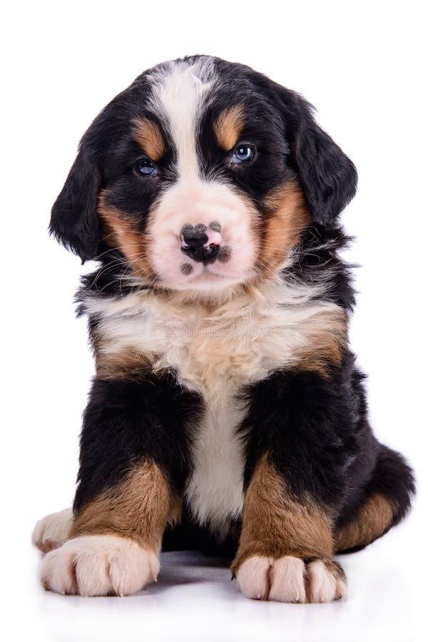 Puppy Bernese Mountain Dog. Newborn. animal isolated on white background stock photo