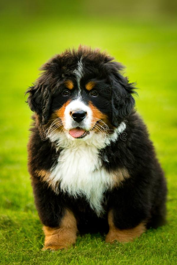 Puppy Bernese mountain dog sit on grass. green trees and white flowers on background royalty free stock photo