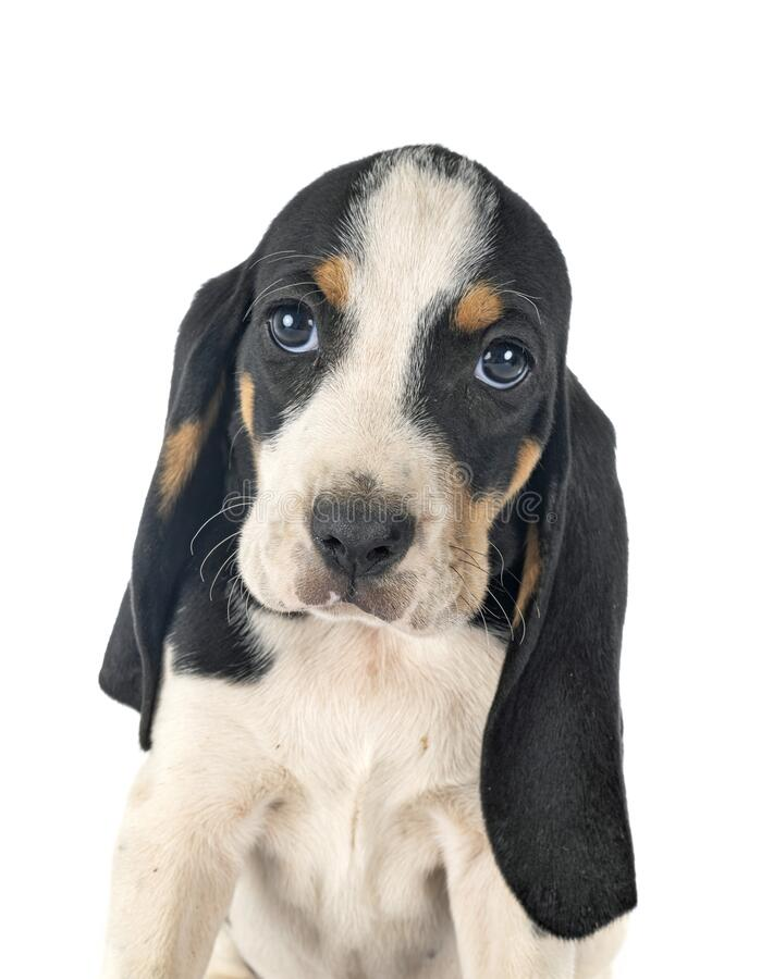 Puppy bernese Schweizer Laufhund royalty free stock images